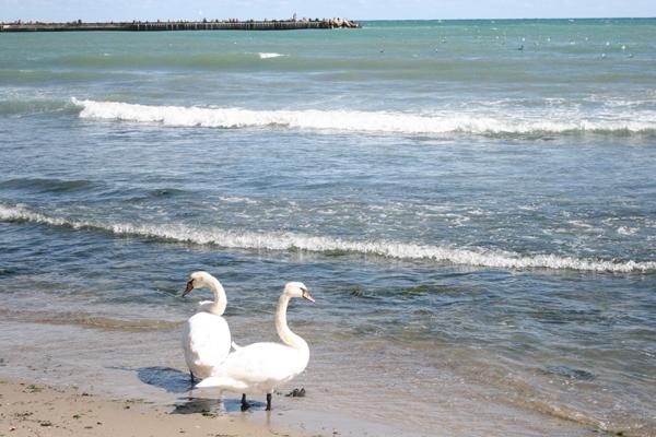 Лебеди тоже дружелюбны людей не боятся.